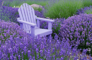 Lavender-Field-Day